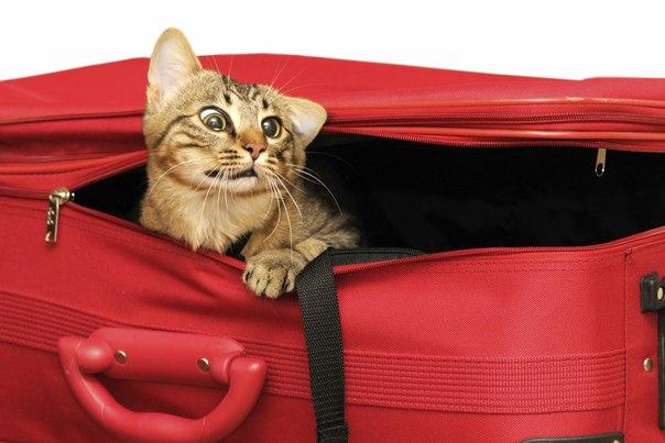 переезд кошки красный чемодан