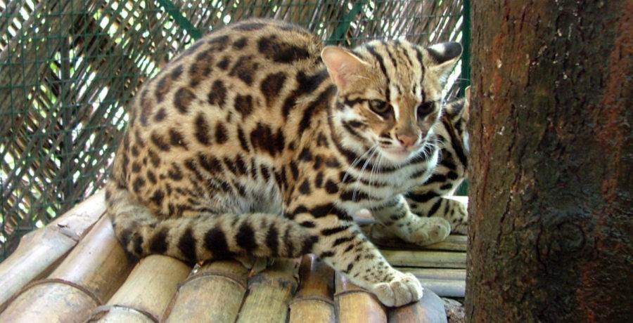 Азиатский леопардовый кот (АЛК)