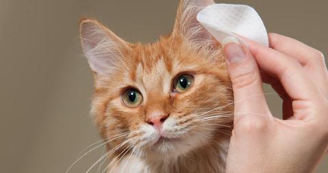 Как чистить уши у кошек