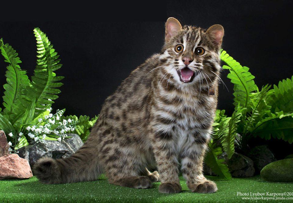 Амурский леопардовый кот