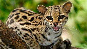 Маргай - дикая лесная древесная кошка