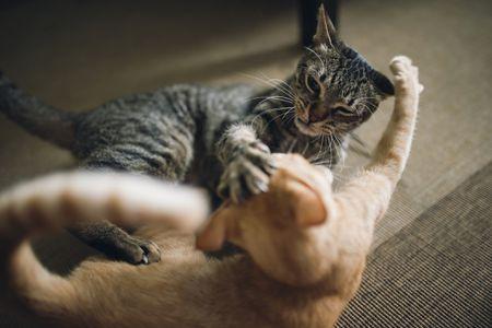 Что делать, когда кошки дерутся?
