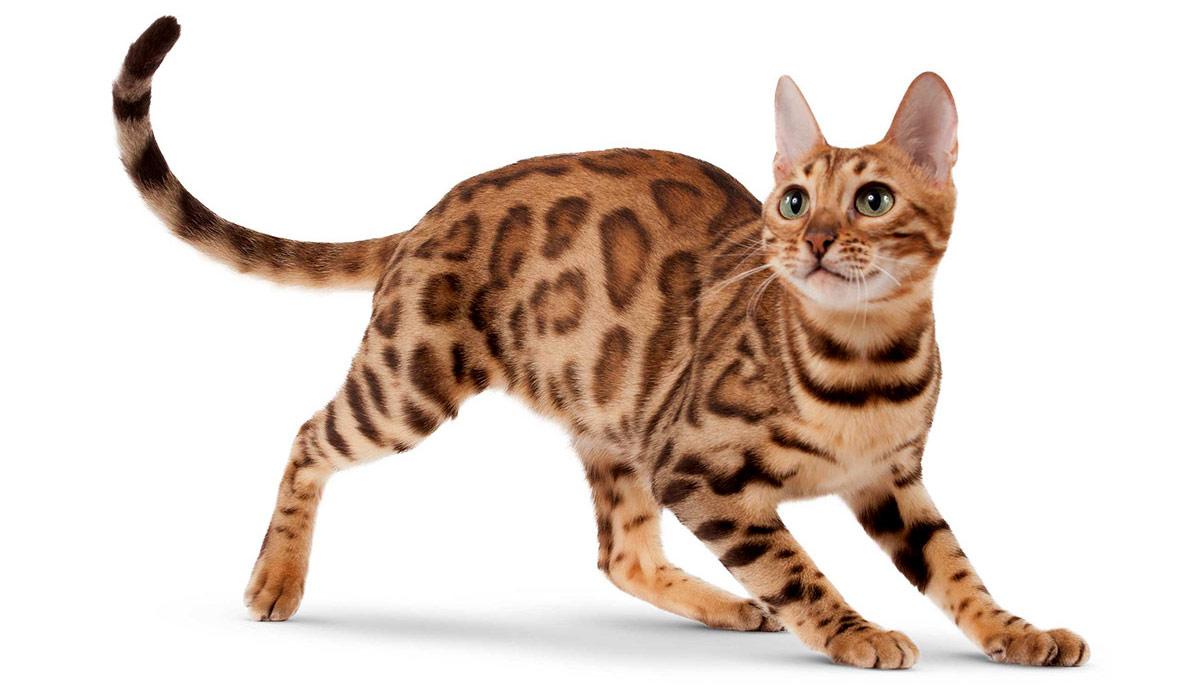 Кот бенгал размеры