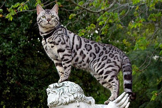 Серебряный окрас бенгальского кота