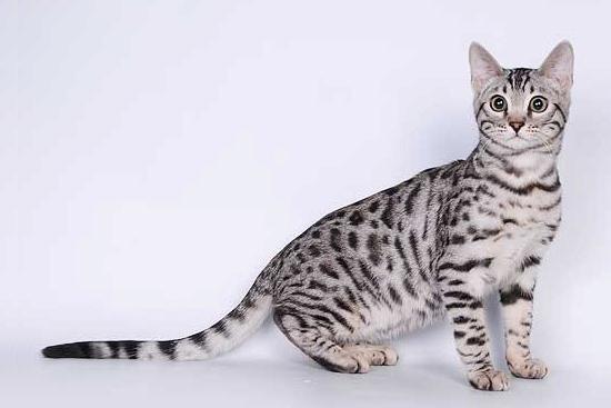 Серебряный окрас бенгальской кошки