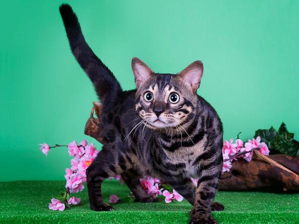 Угольный окрас бенгальской кошки