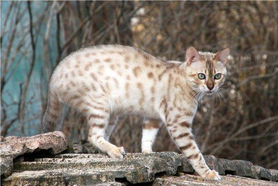 Снежный окрас бенгальской кошки