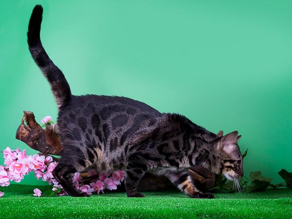 Угольный окрас бенгальского кота