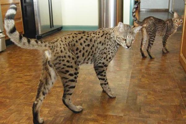 Саванна - гибрид бенгальской кошки и сервала
