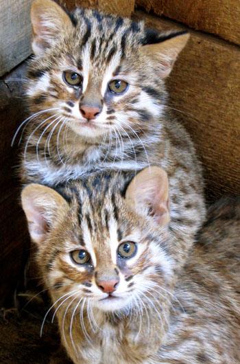 Амурский лесной котенок