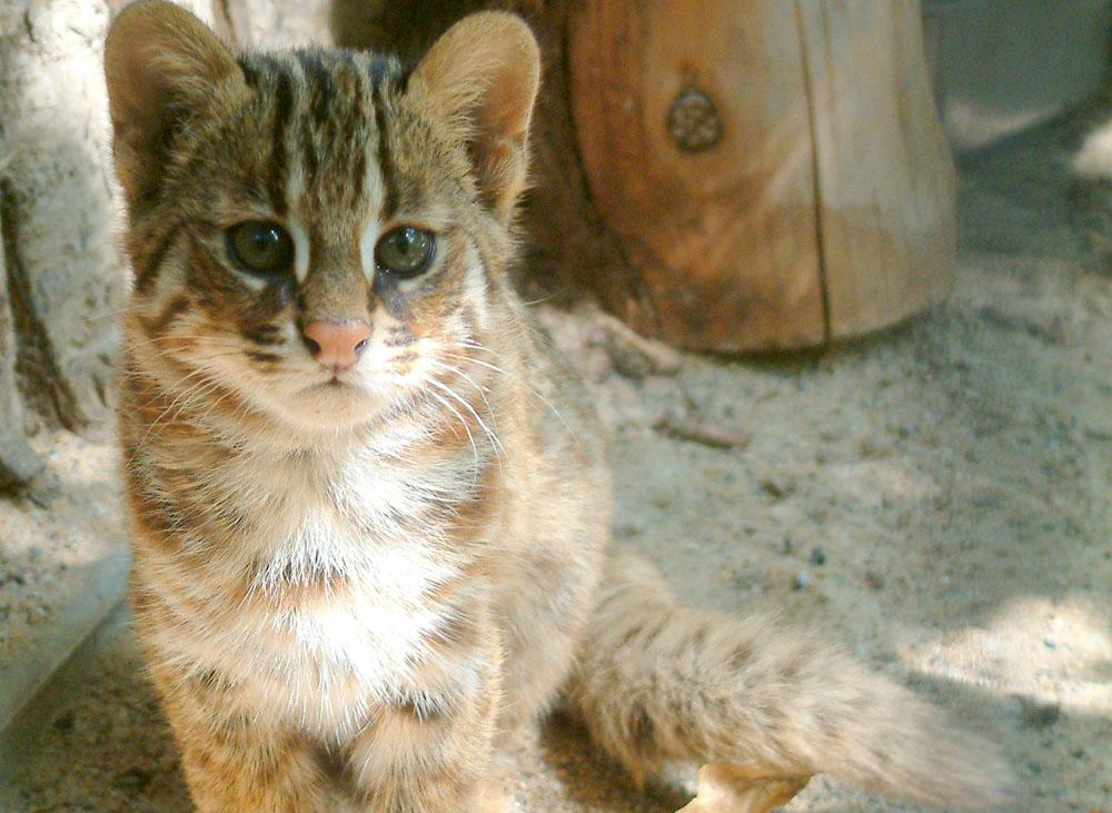 Дальневосточный котенок