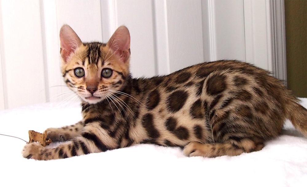 kitten-bengal