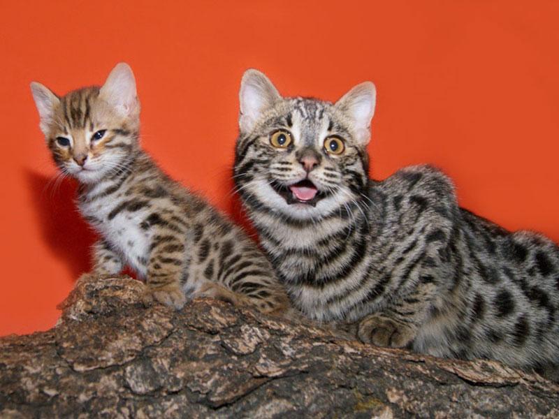 Бенгал F1 (гибрид от Дальневосточного лесного кота и бенгальской кошки)