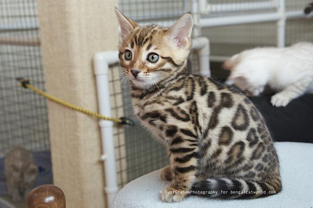 my-bengal-kitten-4
