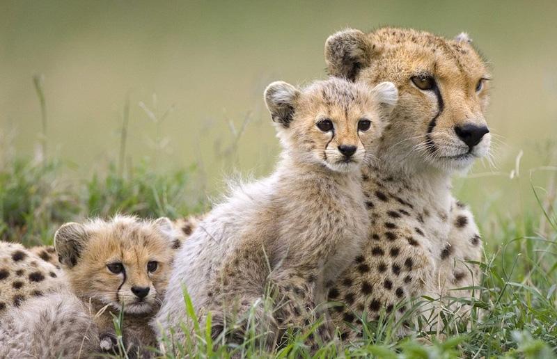 Фазинг у детенышей гепардов