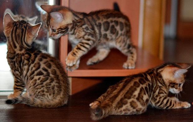 fuzzing_bengal_kitten (4)