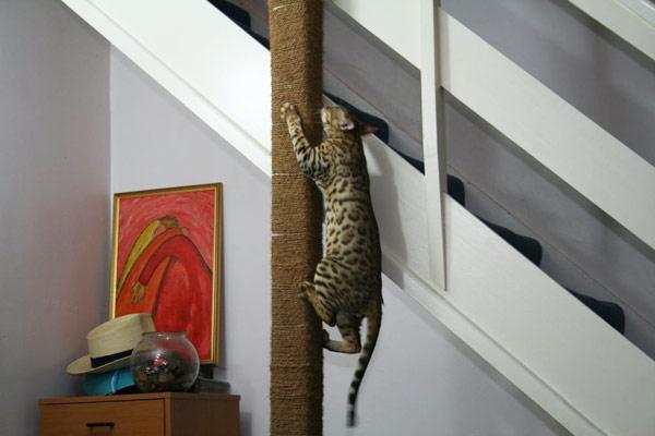 Бенгалы любят прыгать и лазить
