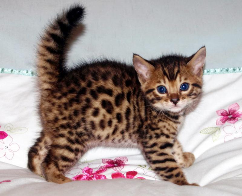 Бенгальские котята могут иметь вредный характер