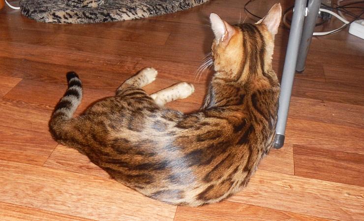 Блестящий мех (глиттер) бенгальской кошки