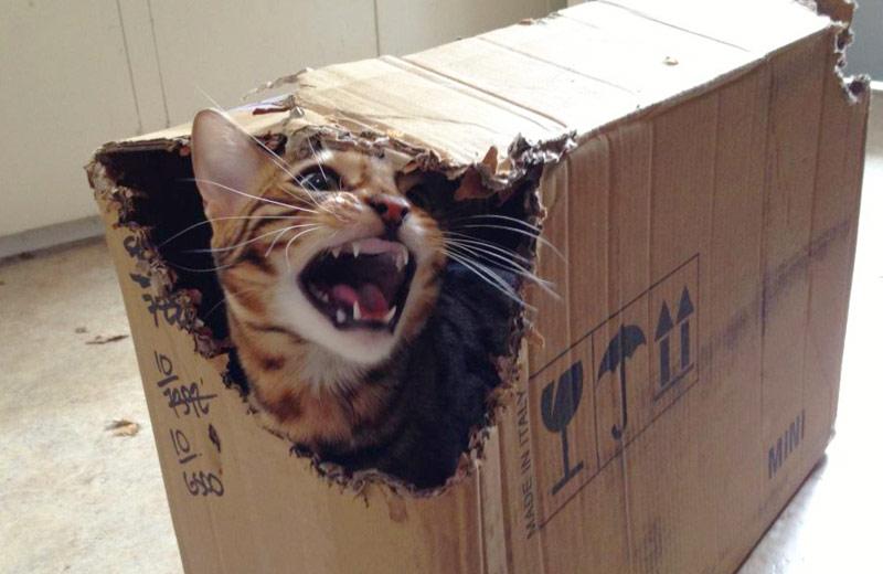 Бенгальская кошка любит кусаться