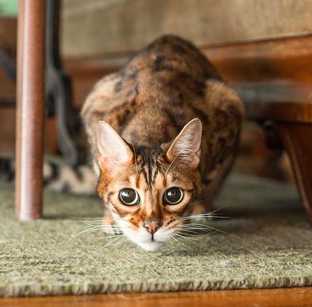 28 фактов о бенгальских кошках, которые вы должны знать