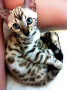 Бенгальские котята фото (11)