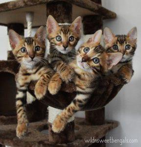 Бенгальские котята фото (3)
