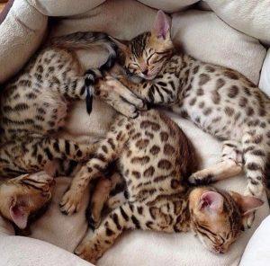 Бенгальские котята фото (6)