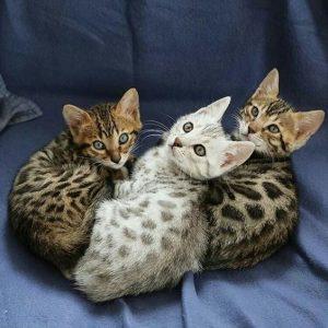 Бенгальские котята фото (7)