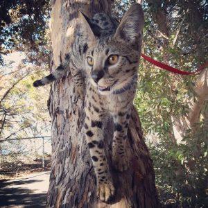 Гибриды бенгальской кошки фото (10)