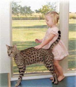 Гибриды бенгальской кошки фото (11)