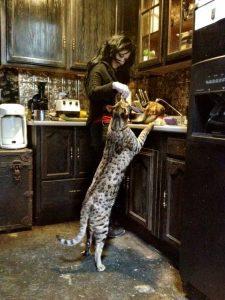 Гибриды бенгальской кошки фото (13)