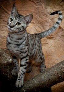 Гибриды бенгальской кошки фото (2)