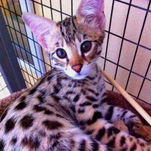 Гибриды бенгальской кошки фото (3)