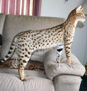 Гибриды бенгальской кошки фото (4)