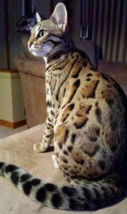 Гибриды бенгальской кошки фото (6)