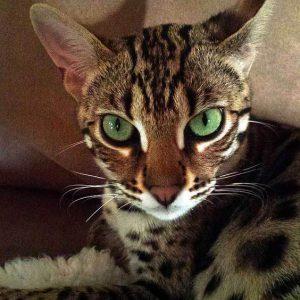 Гибриды бенгальской кошки фото (7)