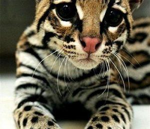 Гибриды бенгальской кошки фото (9)