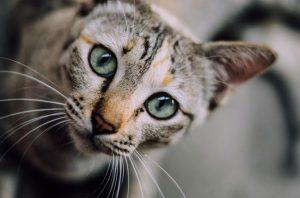 Окрасы бенгальской кошки фото (1)