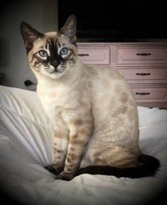 Окрасы бенгальской кошки фото (10)