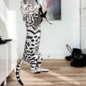 Окрасы бенгальской кошки фото (11)