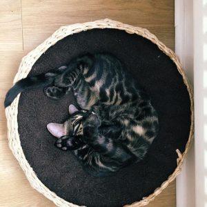 Окрасы бенгальской кошки фото (12)