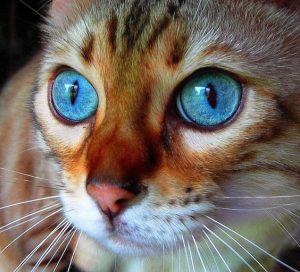 Окрасы бенгальской кошки фото (3)