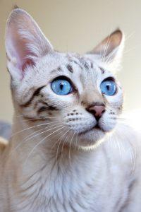 Окрасы бенгальской кошки фото (4)