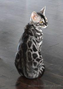 Окрасы бенгальской кошки фото (5)