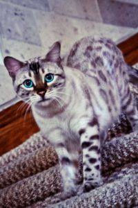 Окрасы бенгальской кошки фото (6)