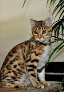 Окрасы бенгальской кошки фото (7)