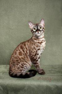 Окрасы бенгальской кошки фото (8)