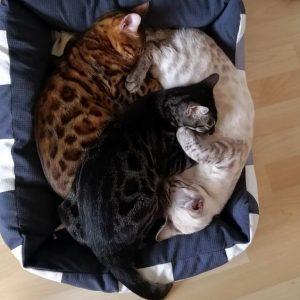 Окрасы бенгальской кошки фото (9)