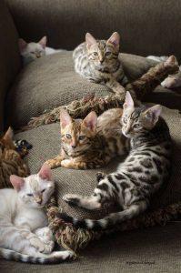 бенгальская кошка фото (10)